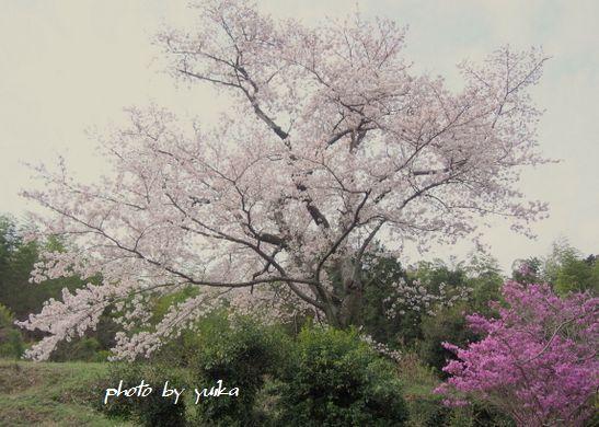 実家桜505-E