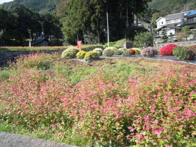 赤そばの花161104