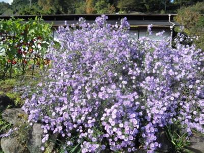 今年も綺麗紫の花161104