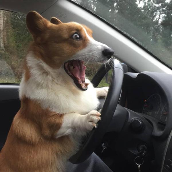 対向車も犬が運転してる