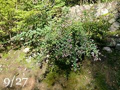 散歩道の花 [ 萩 ]