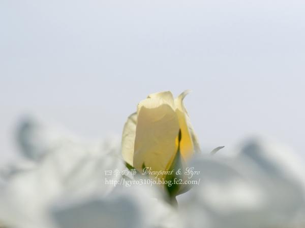 秋薔薇 C