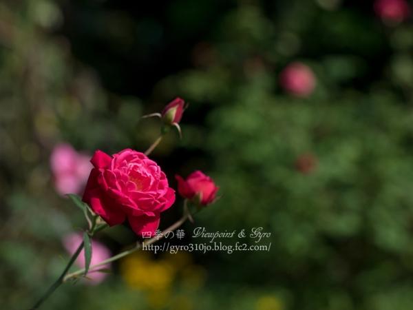 秋薔薇 B