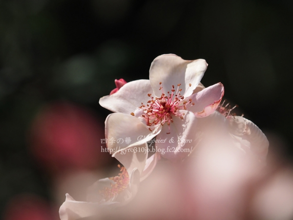 秋薔薇 A