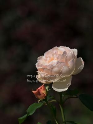 秋薔薇 M