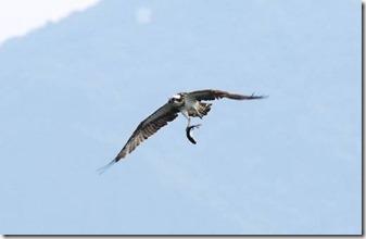 161031007 水辺で魚を掴んだミサゴ(鵲)