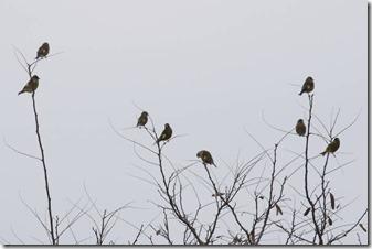 161031011 増えてきたカワラヒワの群れ(鵲)