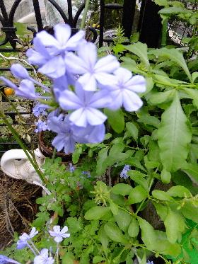 ルリマツリ 青色