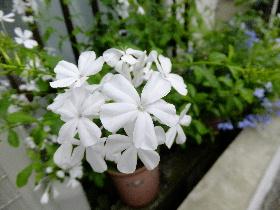 ルリマツリ 白色