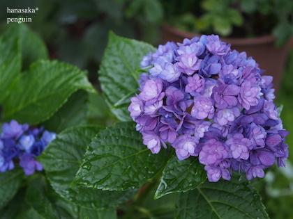 20160622 P03紫陽花