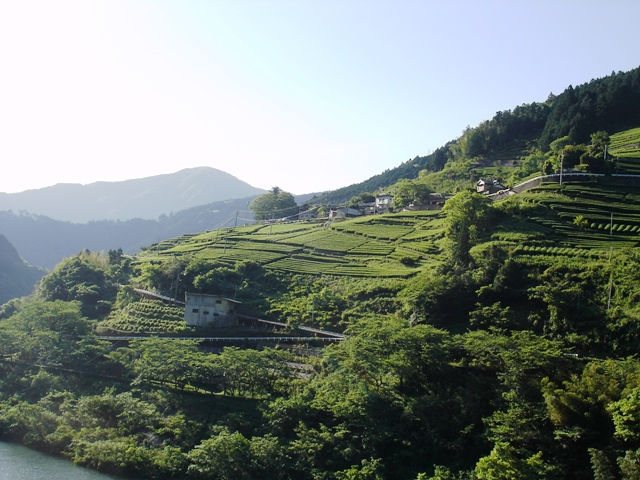 20160505_03茶畑