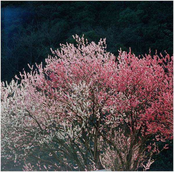n-cf250-hassel-20136-3-20-花フェスタ-portra400-77010012_R