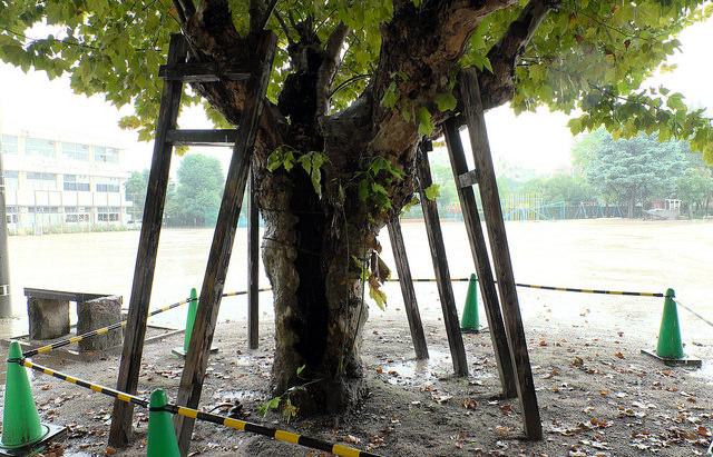 被爆樹木001プラタナス天満小1270