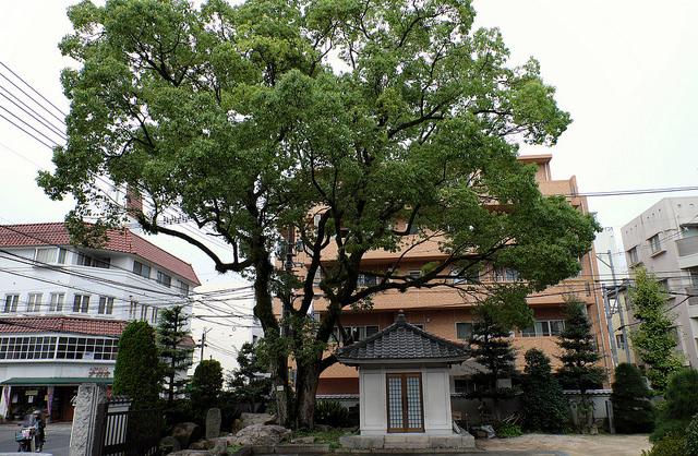 被爆樹木2-007クスノキ1870光隆寺ヒコバエ