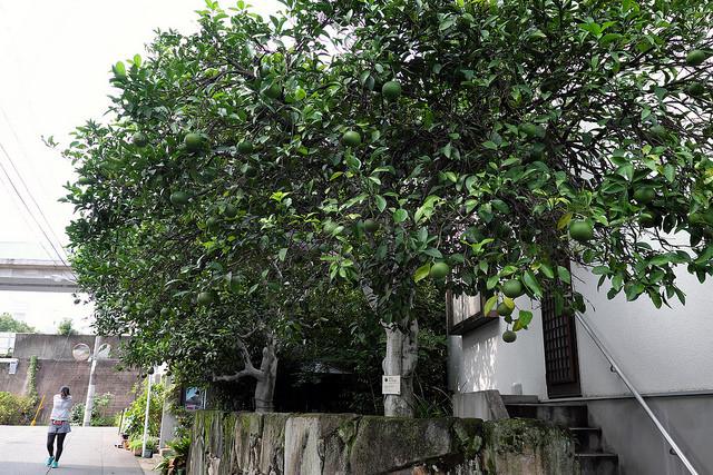 被爆樹木2-008ナツミカン1700光明院移植