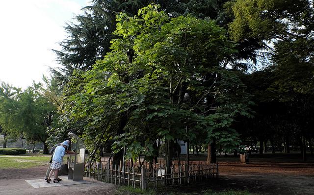 被爆樹木2-010アオギリ1300平和資料館前移植