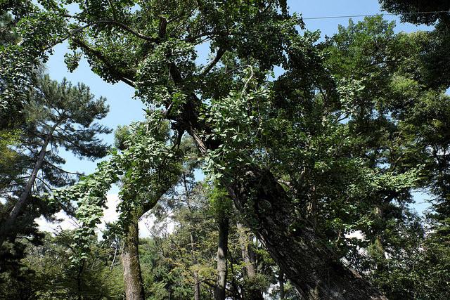 被爆樹木2-011イチョウ1370縮景園