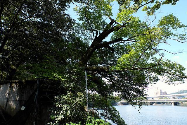 被爆樹木2-012ムクノキ1370縮景園