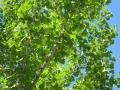 四葉の公園銀杏
