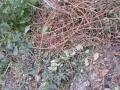 山芋とコクワの蔓