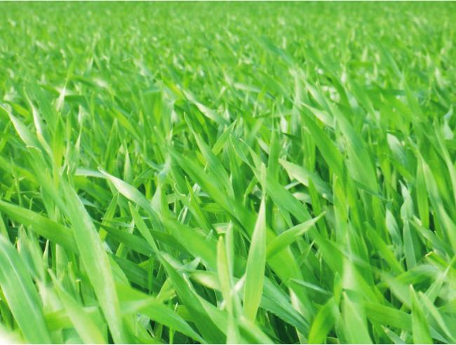 2、大麦若葉