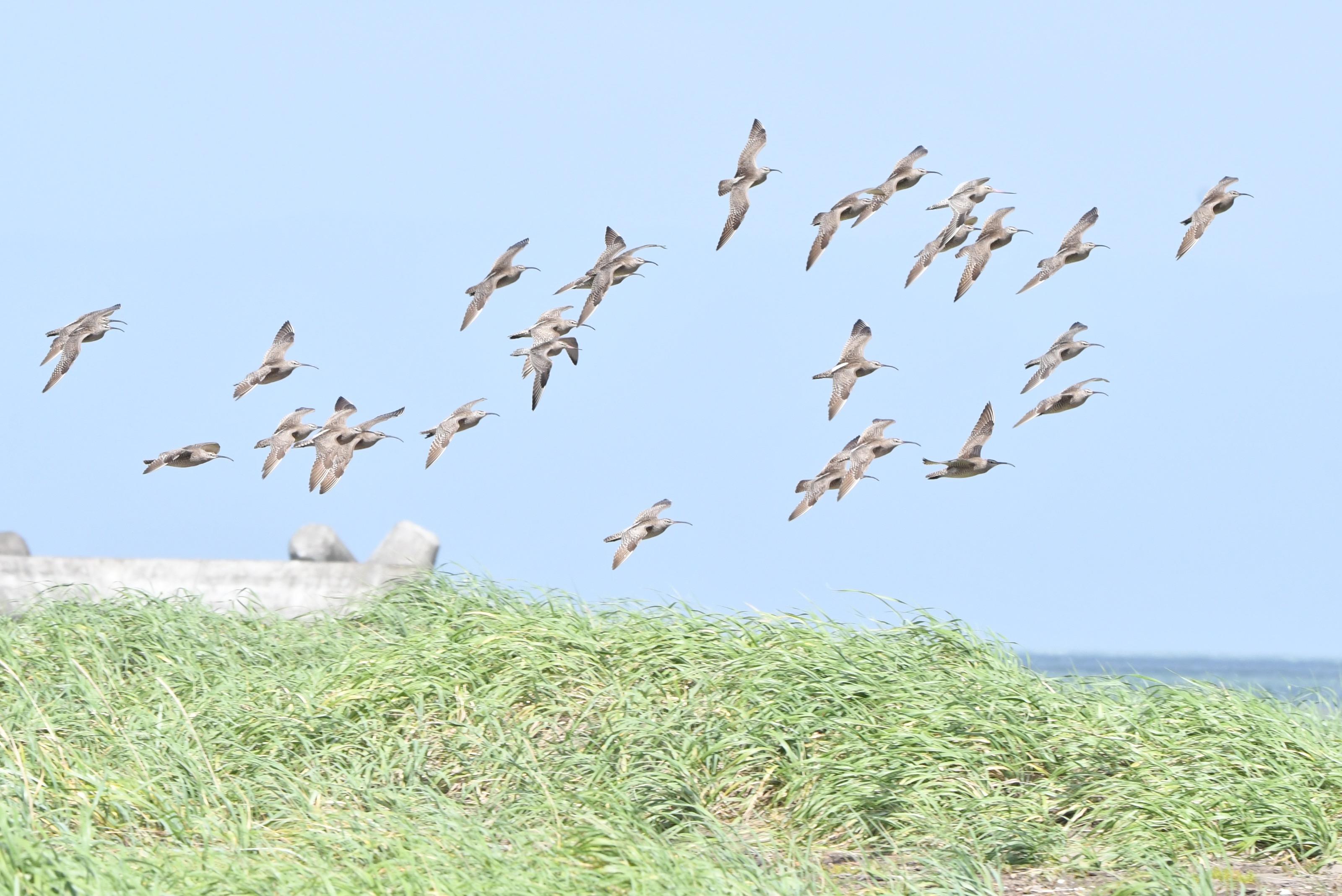 チュウシャクシギ 群れ飛翔