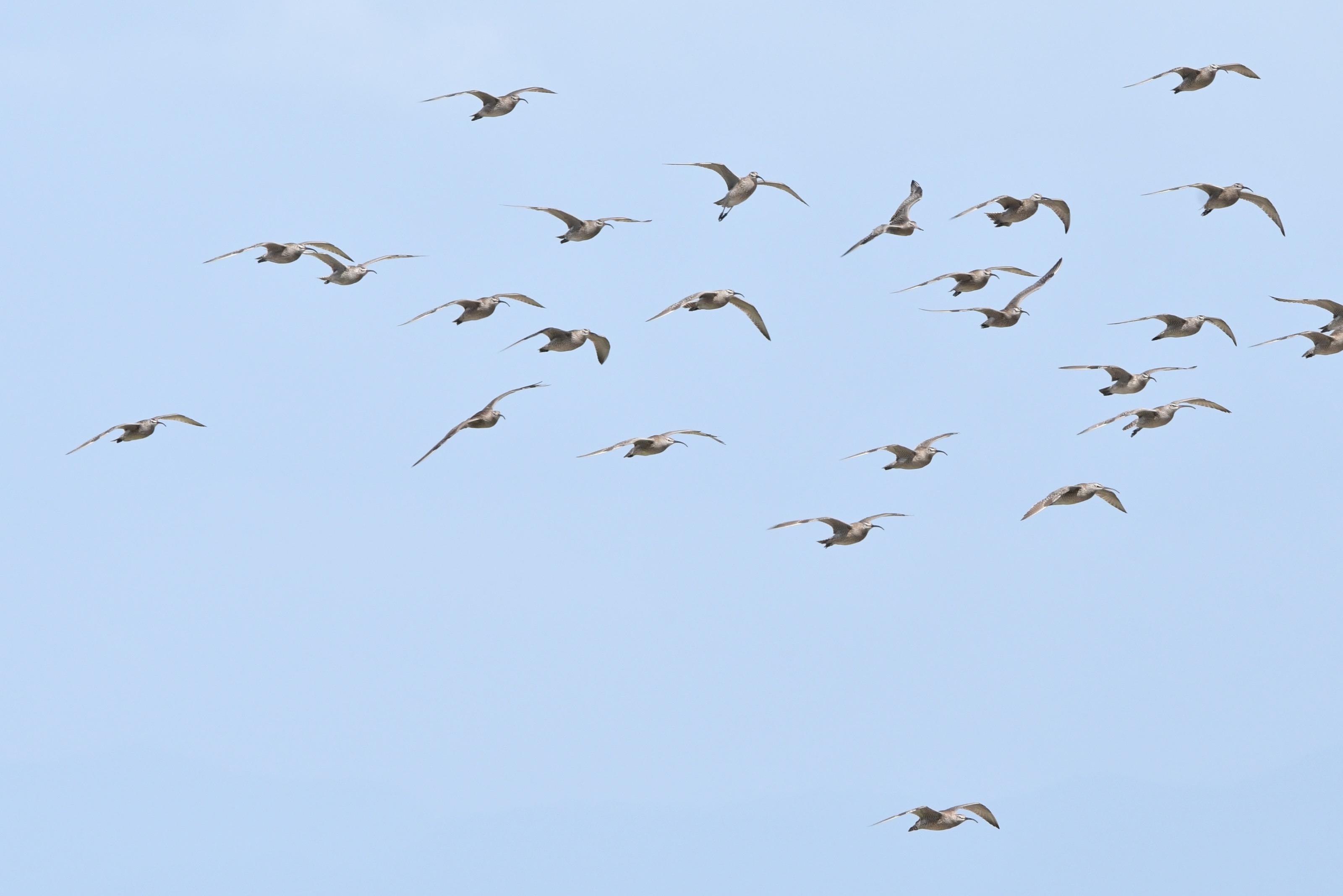 チュウシャクシギ 群れ飛翔2
