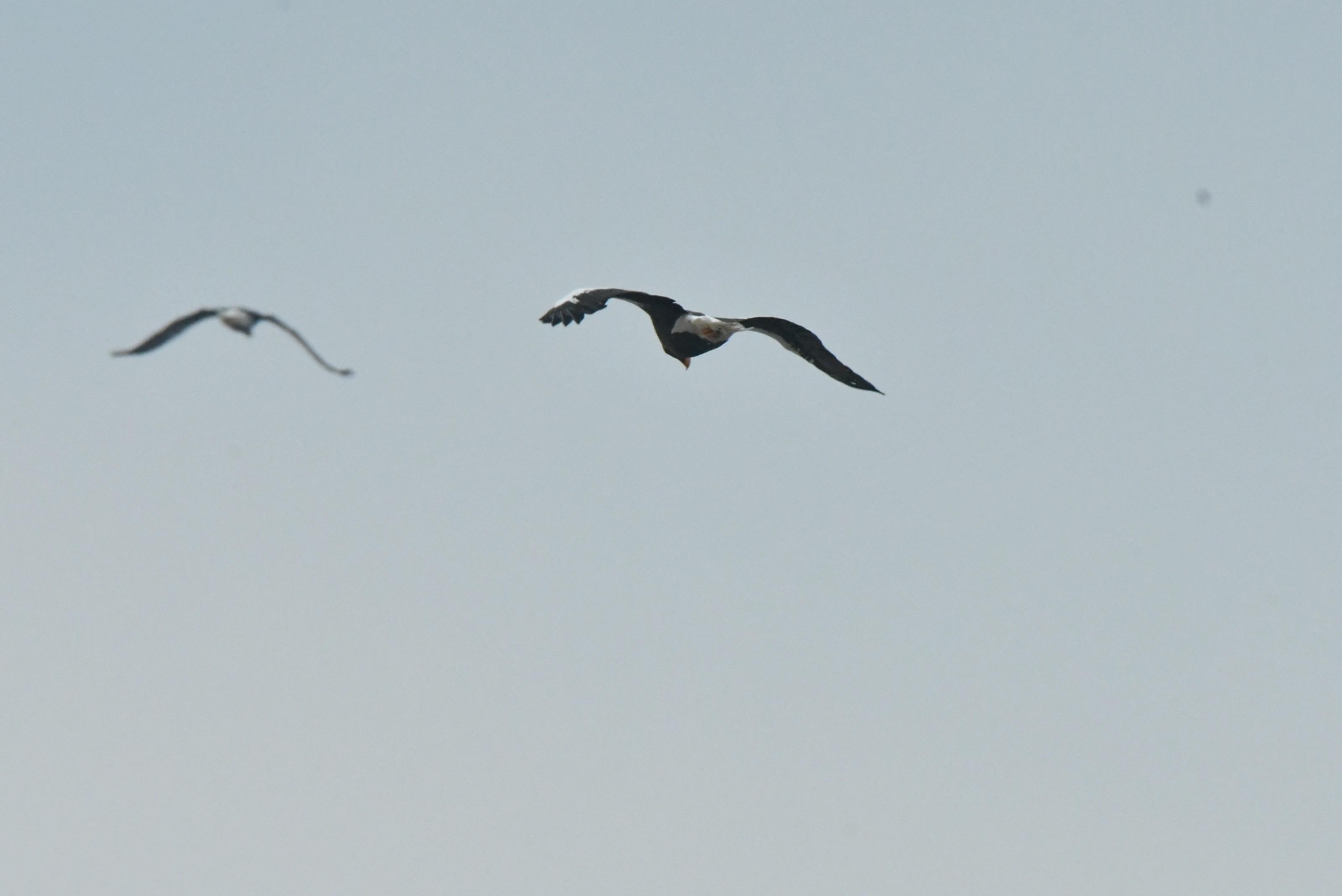 オオワシ成鳥2羽
