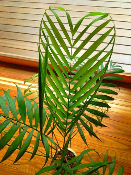 Parlor Palm Heart