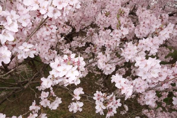 2016.4.10高遠の桜