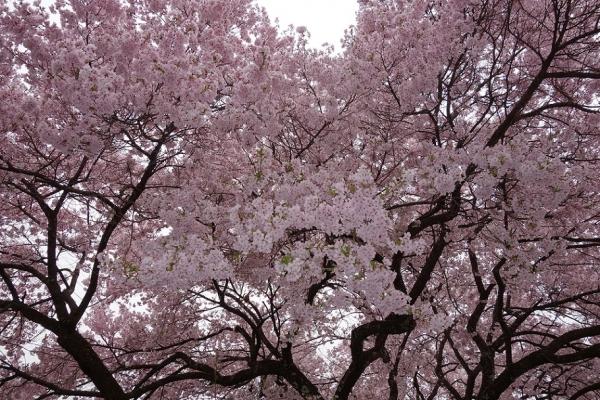 2016.4.10高遠の桜2