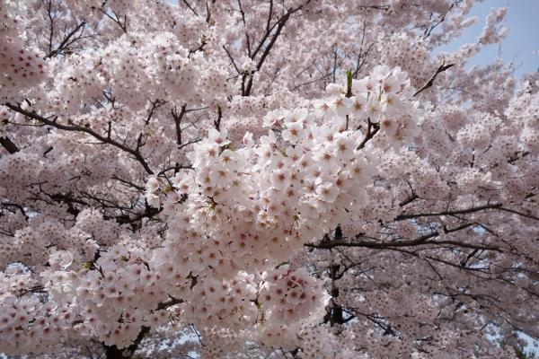 2016.4.9横川SAの桜