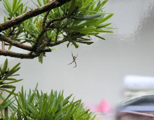 黄金蜘蛛。 少しだけ成長?