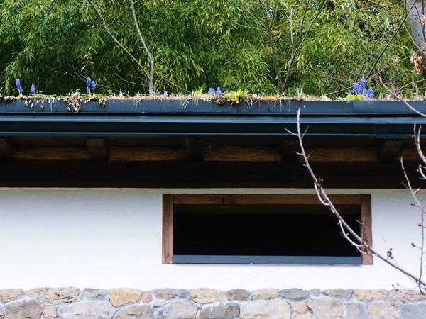 屋根の上のムスカリ