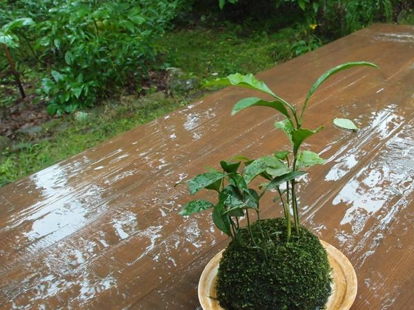 みかんの苔玉