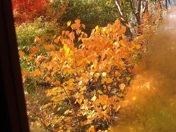 ダンコウバイの紅葉