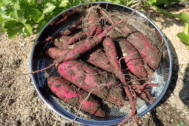 サツマイモ収穫s