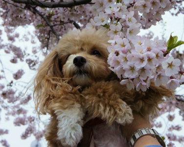 桜散歩8-crop