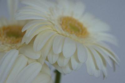 白いガーベラ