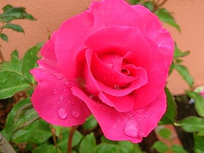 秋雨の薔薇20169月3