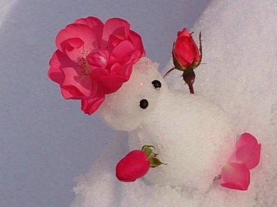 薔薇ゆきだるま
