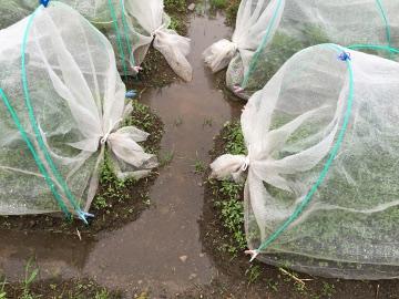 雨の畑が5