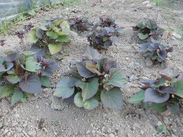つくね芋種芋やさつま芋苗の様子2