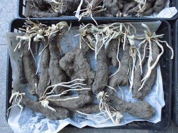 つくね芋種芋やさつま芋苗の様子5