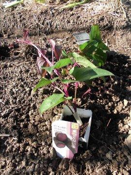 カーネーションと野菜苗植え7