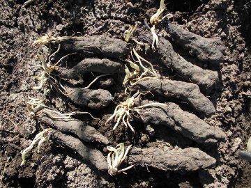 カーネーションと野菜苗植え8