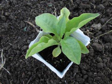 カーネーションと野菜苗植え9