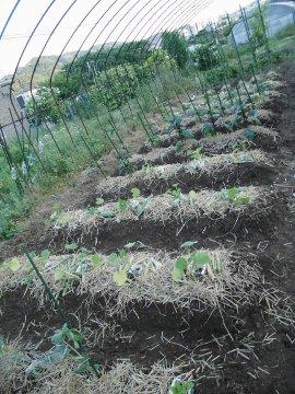 カーネーションと野菜苗植え12