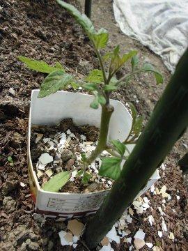 さつま芋苗比較栽培4
