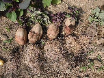 さつま芋苗比較栽培7